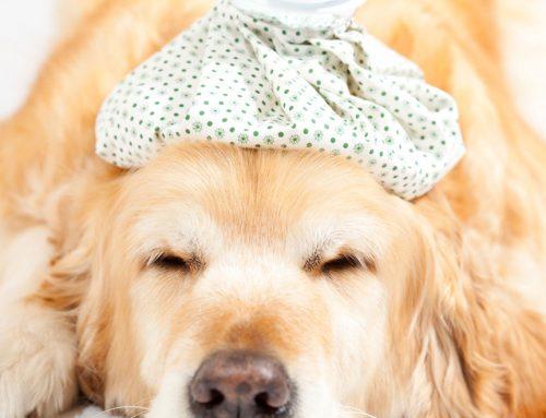 Heatstroke in Dogs: Causes, symptoms, prevention & treatment